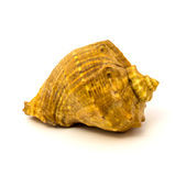 Sea shell isolated on a white background Stock Photos