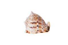 Sea shell isolated on a white background Royalty Free Stock Images