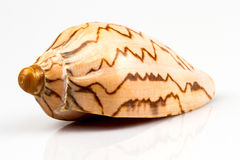 Sea shell isolated on white background Royalty Free Stock Photography