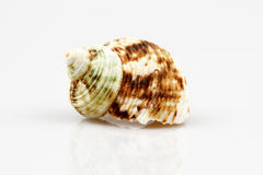 Sea shell isolated on white background Royalty Free Stock Images
