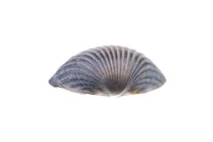 Sea shell isolated on white Stock Photography