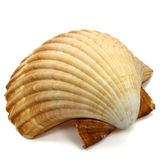 A sea shell isolated on white ground Royalty Free Stock Photography