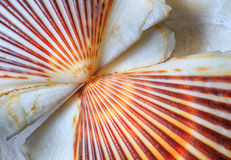 Sea Shell Scallop Fan Pattern Royalty Free Stock Images
