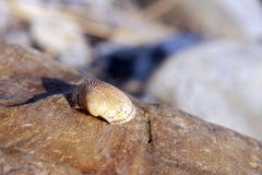 Sea shell laying on the stone near the seashore Stock Images