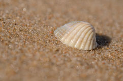 Sea shell lying on the beach. Beautiful rounded sea shell lying on the sandy beach Stock Photography