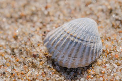 Sea shell lying on the beach. Beautiful rounded sea shell lying on the sandy beach Royalty Free Stock Images