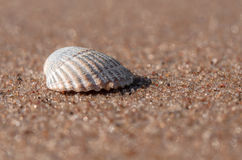 Sea shell lying on the beach. Beautiful rounded sea shell lying on the sandy beach Stock Images