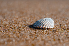 Sea shell lying on the beach. Beautiful rounded sea shell lying on the sandy beach Stock Image