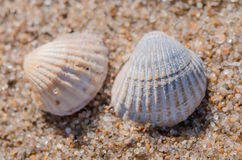 Sea shell lying on the beach. Two rounded sea shell lying on the sandy beach Stock Photo