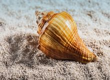 The sea shell is lying on a white pebble stock image