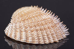 Sea shell of mollusk isolated on black background close up Royalty Free Stock Images