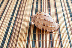 Sea shell, mollusks, gastropods Royalty Free Stock Images