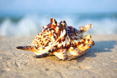 Sea shell with ocean on background. Royalty Free Stock Image