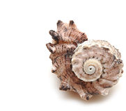 Sea Shell On White Background Stock Photos
