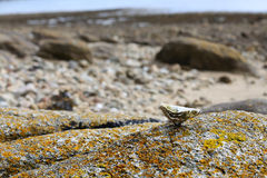 Sea shell oysters on the rocky shore of the sea.  royalty free stock photo