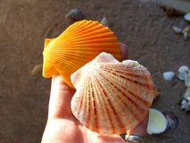 Sea shell on the palm stock photo