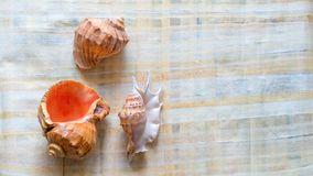Sea shell on papyrus paper background royalty free stock image
