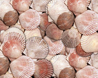 Sea shell pattern. Sea shells as a background Royalty Free Stock Photo