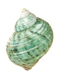 Sea shell: periwinkle Royalty Free Stock Photo