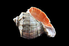 Sea shell. The photo of a sea shell on a black background Stock Images