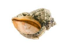 Sea shell photo Royalty Free Stock Image