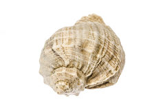 Sea shell photo Royalty Free Stock Photo
