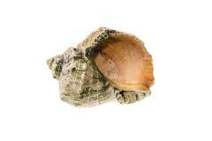 Sea shell photo Stock Photo