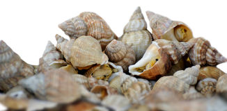 Sea shell on a plate Stock Image