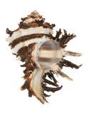 Sea shell: radix murex Stock Photo