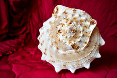 Sea shell. On a red background Royalty Free Stock Photography