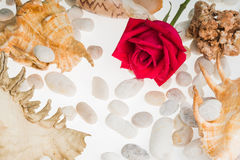 Sea shell and red rose texture white background Stock Images