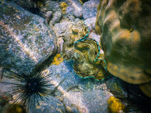 Sea shell Red Sea underwater snorkelling Stock Photography