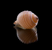 Sea shell with reflection Stock Images
