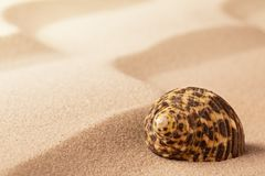 Sea shell on rippled beach sand. Tropical mollusk or snail on textured background royalty free stock photo