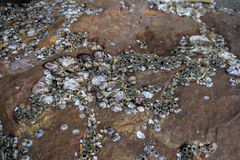 Sea shell on rock Royalty Free Stock Photos