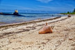 Sea shell on the San Blas Island. Sea shell on San Blas Masargandup Island on the Caribbean side of Panama Stock Photo
