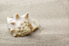 Sea shell on sand. Closeup background Royalty Free Stock Photo