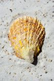 Sea Shell in the sand Royalty Free Stock Photos