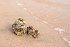 Sea shell on the sandy beach. Seashell nautilus on sea beach under sunset sun light Stock Photo