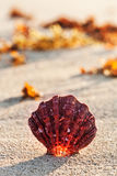 Sea shell on the sandy beach at sunrise, tropical landscape. Sea shell on the sandy beach at sunrise in summertime, tropical landscape, Mexico Stock Image