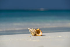 Sea shell on the sandy beach on tropical island Stock Photography