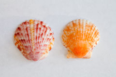 Sea Shell from Sanibel and Captiva Islands. In Florida Royalty Free Stock Photo