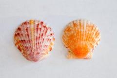 Sea Shell from Sanibel and Captiva Islands Royalty Free Stock Photo