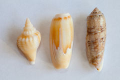Sea Shell from Sanibel and Captiva Islands Stock Image