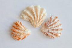 Sea Shell from Sanibel and Captiva Islands Stock Photos