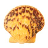 Sea shell:scallop Royalty Free Stock Image