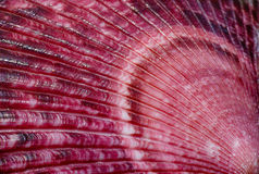 Sea Shell Scallop Fan Pattern. A close up of a colorful pink, red and maroon sea shell with fan, ray pattern royalty free stock images