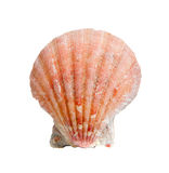 A sea shell or scallop on white Stock Photography