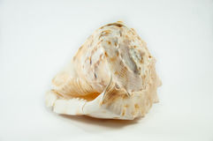 Sea Shell.  Sea shell isolated on white Royalty Free Stock Image