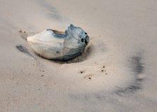 Sea Shell by the Sea Shore. Sea shell washed ashore on an Atlantic coast beach stock photography